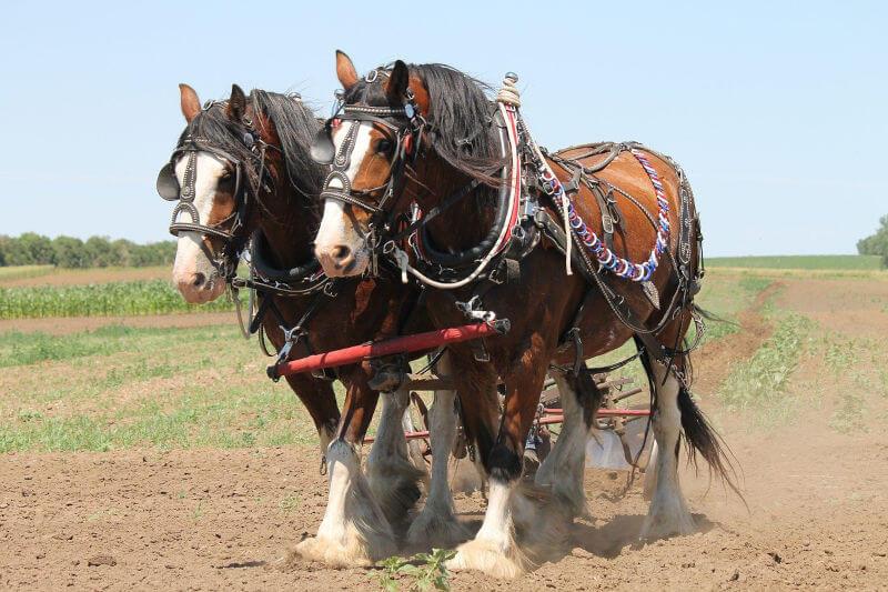コードバンは農耕馬のお尻から取れる希少な革